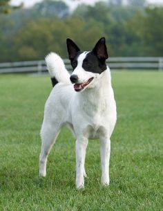 Canaan Dog Herding Dogs, Purebred Dogs, Doggies, Dogs And Puppies, Mexican Hairless Dog, Canaan Dog, Rare Breeds, Ibizan Hound, Unique Dog Breeds