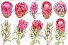 by Mary on Tropical Clip Art, Watercolor Protea flowers. Scrapbooking clipart, DIY These clip arts are Flor Protea, Protea Art, Protea Flower, Australian Wildflowers, Australian Native Flowers, Botanical Drawings, Botanical Art, Watercolor Flowers, Watercolor Art