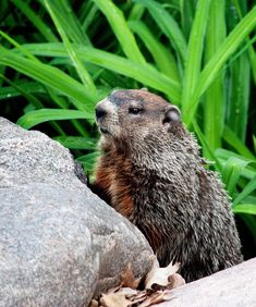 Did the Groundhog See His Shadow in 2018? Find out here, and learn the all about the oft-misunderstood celebration of Groundhog Day: https://www.thespruce.com/groundhog-damage-in-yard-2131141
