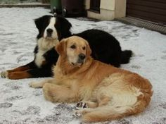 Bernese Mountain Dog & Golden Retriever - If I ever get a dog it'll be one of either of these.