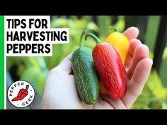 Growing Peppers, Tomatoes, Harvest, Potato, Geek Stuff, Stuffed Peppers, Garden, Tips, Youtube