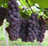 La uva como potente antiedad http://elcorset.com/la-uva-como-potente-antiedad/