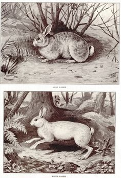Animal Gray Grey Hare Rabbit White Wildlife 1908 Antique Print | eBay