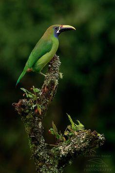 Emerald Toucanet (Aulacorhynchus prasinus) Изумрудный туканет