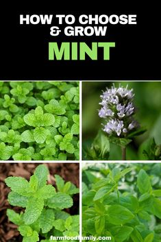 Mint and mankind have long been known to each other. There are many biblical references to mint as well as mentions of it throughout the history of the ancient Romans, Greeks, Egyptians and Chinese. Container Gardening Vegetables, Vegetable Garden, Garden Plants, Fruit Garden, Growing Mint, Growing Herbs, Mint Garden, Types Of Christmas Trees, Sacred Garden