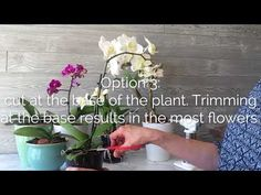 Ready to cut your orchid flower spike, but aren't sure where? Get step-by-step-instructions on where to cut the orchid flower spike. Indoor Orchids, Orchids Garden, Garden Plants, House Plants, Flowers Garden, Orchid Plant Care, Orchid Plants, Orchid Flowers, Orchid Roots