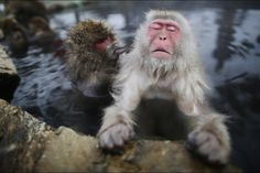A Yamanouchi, au Japon, des macaques japonais se protègent du froid dans des sources thermales. Malgré leur épaisse fourrure, quand les températures baissent, les primates trouvent en effet refuge dans ces eaux chaudes, présentes dans leur habitat naturel.© Issei Kato / Reuters