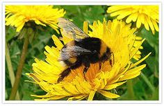 Image result for picture of Bumble bee