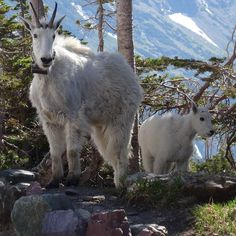 Another mountain goat picture. The mother is wearing a research collar. Their habitat is shrinking with the melting glaciers. I hope very much that they will adot to new conditions! Schneeziegen im Glacier Nationalpark.