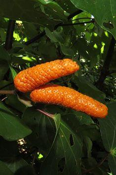 Kawakawa fruit have sweet orange flesh, but are filled with peppery black seeds. Native Plants, Ecology, Carrots, Restoration, Seeds, Tea, Orange, Fruit, Vegetables
