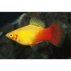 There are many types of tropical fish that you keep in your freshwater aquarium. Here are the best tropical fish species to keep if you're a beginner . Tropical Aquarium, Saltwater Aquarium, Tropical Fish, Platy Fish, Discus Fish, Tropical Freshwater Fish, Freshwater Aquarium Fish, Aquariums, Colors