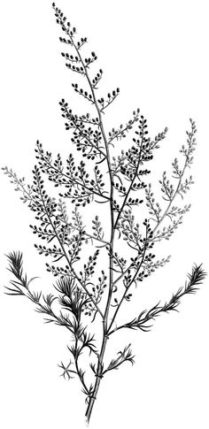 4 Black and White Botanical Stems Images! - The Graphics Fairy Black And White Drawing, Black N White Images, White Art, Black White, Black And White Prints, Botanical Tattoo, Botanical Drawings, Botanical Art, Botanical Illustration Black And White