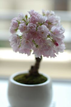 mini #bonsai - we have this ornamental flowering cherry tree is large size. Love it in the spring!