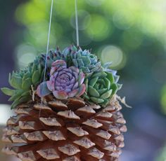 If you're looking for a cool craft that is a quick and easy D.I.Y project, try this hanging pine cone succulent planter.