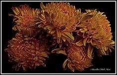 """ Pittura di Crisantemi"""