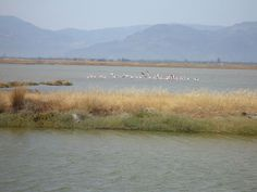 Flamingos, Kaloni, Lesvos