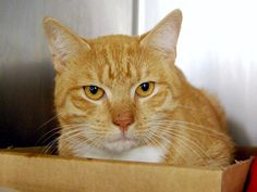 FINDLAY - A1096834 - - Manhattan  Please Share:*** TO BE DESTROYED 12/02/16 ***HAS SOME MINOR TRAUMA TO LEFT HIND TOE – CAME IN WITH WALTON -A1096835 – A volunteer writes: Findlay and his female tabby pal Walton (A1096835) came to the Care Center in a police car. Nope, they weren't in trouble with the law–they had been left behind by their previous owners, a tough break for any former house pet…….. -  Click for info & Current Status: ht