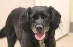 RESCUED>NAME: Gabriel  ANIMAL ID: 30701661  BREED: spaniel  SEX: male  EST. AGE: 3 yr  Est Weight: 33 lbs  Health: heartworm pos  Temperament: dog friendly, people friendly, Small kid- Not friendly  ADDITIONAL INFO: RESCUE PULL FEE: $49  Intake date: 1/27  Available: Now