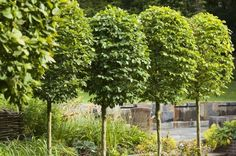 This row of clipped trees creates an elegant way of guiding the eye through the landscape. By Ann-Marie Powell Gardens.