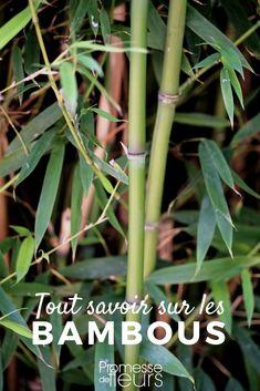 Le Bambou, traçant ou non-traçant, nain ou géant est une plante très appréciée. Découvrez nos conseils pour planter vos bambous mais aussi bien les tailler et les entretenir, en pot ou au jardin. #jardinage #jardin #bambou