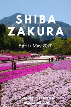 Day trip from Tokyo April or May Shibazakura Chichibu in Hitsujiyama Park. The festival is not on but the park is open for you to enjoy the stunning shibazakura (moss phlox) commutable from Tokyo Moss Phlox, Day Trips From Tokyo, Saitama Japan, Saitama Prefecture, Tourism, Things To Do, Scenery, Internet, Vacation