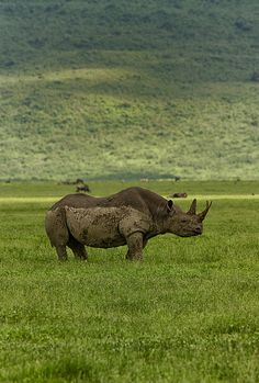 A rhino who chilled in the Ngorongoro crater, Tanzania.