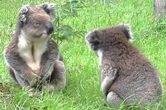These Two Koalas Fighting Resemble A Drunk Couple At The Club