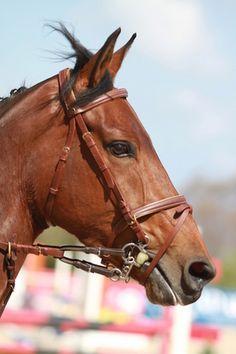 111 mejores im genes de caballos pura sangre beautiful creatures beautiful horses y animals - Caballo silla frances ...