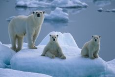 Polar bears on ice floe     I love Polar bears would like to photograph them.Please check out my website Thanks  www.photopix.co.nz