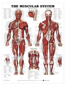 The Muscular System Anatomical Chart features classic illustrations by Peter Bachin. The Muscular System Anatomical Chart shows anterior and posterior views of the muscular system. This muscular anatomy chart also illustrates the right ha Muscular System Anatomy, Human Muscular System, Human Body Anatomy, Muscle Anatomy, Body Fitness, Muscle Diagram, Anatomy Models, Deep Tissue, Anatomy And Physiology