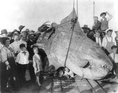 1910, Santa Catalina Island, California....A sunfish, with an estimated weight of 1600 kg, was caught.