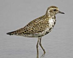 Pacific Golden-Plover - so similar to American Golden-Plover that the 2 were regarded as one species until 1993. However, the birds can tell the difference: where the two forms overlap in western Alaska, they seldom or never interbreed. Their migratory routes are strikingly different: American Golden-Plover migrates to South America, while Pacific Golden-Plover flies from Alaska to islands in the Pacific & often on to Australia, regularly covering over 2,000 miles in a single nonstop flight. Golden Plover, Islands In The Pacific, Shorebirds, Sea Birds, South America, Habitats, Alaska, Australia, American