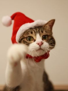 I Love Cats, Crazy Cats, Cool Cats, Christmas Kitten, Christmas Animals, Christmas Time, Merry Christmas, Living With Cats, Cat Boarding