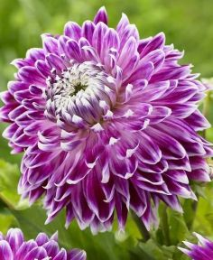 """Dinnerplate Dahlia 'Vancouver'-I planted two """"vancouvers"""" Feb. 22. They go wonderfully with the """"avignon"""" variety. I planted another April 12."""