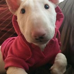 3,468 отметок «Нравится», 240 комментариев — Bullterrier of Instagram (@bullterriergram_) в Instagram: «Follow @lovabulluna ❤️ she's so cute!»