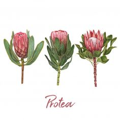 Horizontal flowers valentine's day background with heart floral frame Premium Vector Protea Art, Flor Protea, Protea Flower, Illustration Blume, Pattern Illustration, Botanical Illustration, Digital Illustration, Feather Texture, Rose Gold Texture