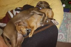 From Rags To Riches, Zsa Zsa, Daschund, Pitbulls, Brother, Snoopy, Facebook, Dogs, Animals