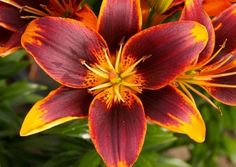 """Asiatic Lily Bulbs (Spring-Planted) - """"Starlette"""""""