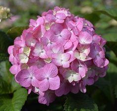 Hydrangéa Macrophylla endless summer bloom star