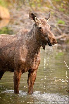 Moose , Chugach National Forest