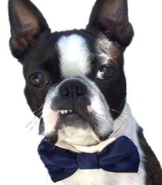 Wedding or any Event  Bow Ties for  that Special Dog by miascloset, $13.00
