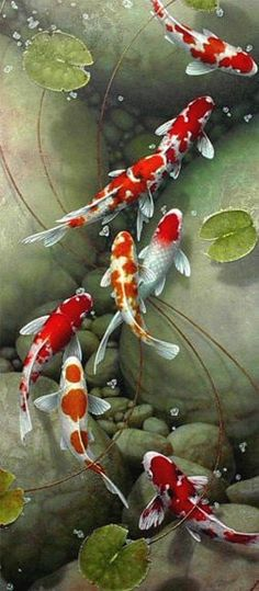 Koi keeping is quickly becoming a very popular hobby in America. Koi are beautiful, vibrant fish that can literally light your day. Koi come in many colors, Art Asiatique, Beautiful Fish, Tier Fotos, Fish Art, Koi Art, Fish Fish, Ocean Life, Marine Life, Sea Creatures