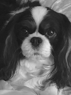 Holley full of sweetness! Cavalier King Charles Dog, King Charles Spaniel, Cute Puppies, Dogs And Puppies, Doggies, I Love Dogs, Puppy Love, Animals And Pets, Cute Animals