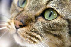 Ama-chan #neko #cat  (via catcafenekorobi)