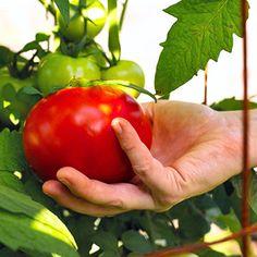 Los tomates necesitan calcio para alcanzar su potencial pleno sabor, y el calcio es a menudo bastante escaso en nuestros suelos. 95% de una cáscara de huevo seco es carbonato de calcio. Al plantar sus plantas los tomates pulverizar las cáscaras de huevo y mezclar con la tierra.