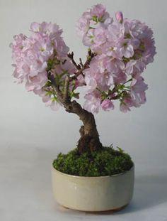 flowering pink blossom bonsai