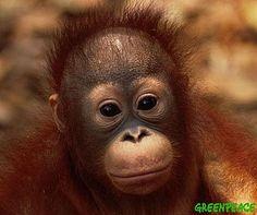 Orangutan   Description: baby orangutans