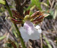 Zygopetalum Sincoranum (Orchid)