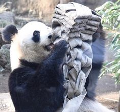 Panda's Dream, Panda Bear, Animals, Animales, Animaux, Panda, Animal, Animais, Pandas