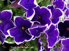 purple petunias - Google Search